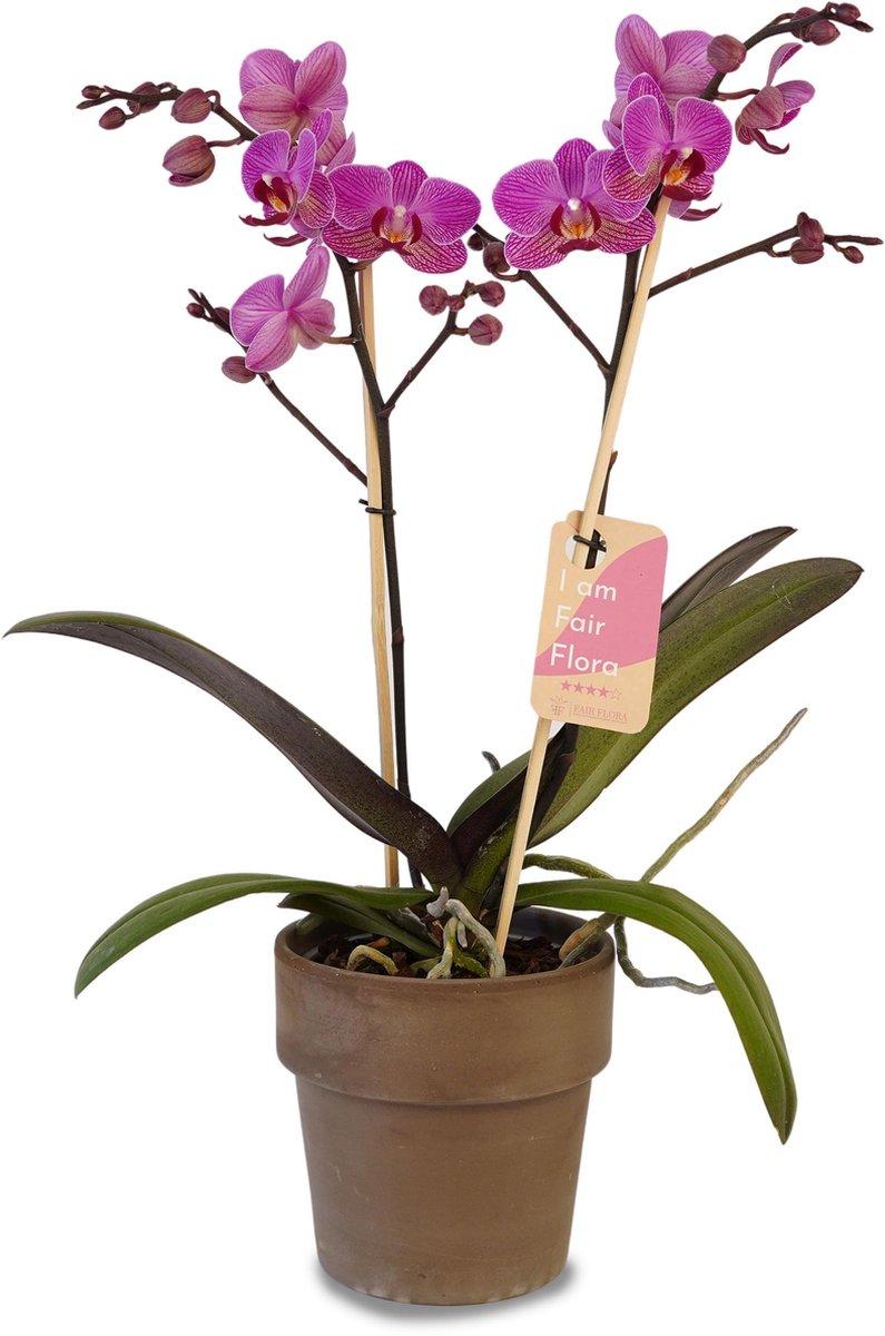 Duurzaam geproduceerde Kamerplant van FAIR FLORA® - 1 x Orchidee in de grijze keramische pot - Hoogte: ca. 50 cm - Latijnse naam: Phalaenopsis Multiflora Vienna