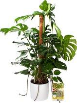 Pokon® Monstera / Gatenplant incl. watermeter en voeding - in Mica Era Pot Wit - hoogte ↕120 cm