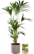 Pokon® Kentia Palm incl. watermeter en voeding - in Mica Era Pot Licht Grijs - hoogte ↕90 cm