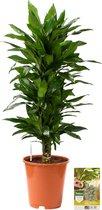Pokon® Drakenbloedboom Janet Lind incl. watermeter en voeding - hoogte ↕100 cm