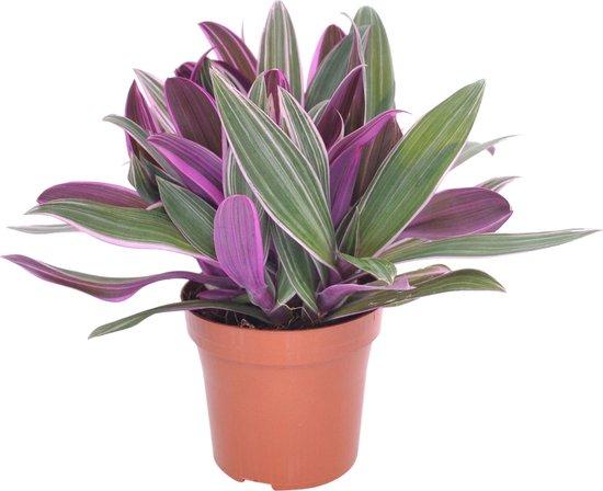 Tradescantia 'Purple Flame' - Vaderplant - Groen paars - ↑15-20 cm - Ø12 cm
