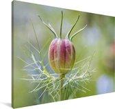 Nigelle plant bijna in de bloei Canvas 30x20 cm - klein - Foto print op Canvas schilderij (Wanddecoratie woonkamer / slaapkamer)
