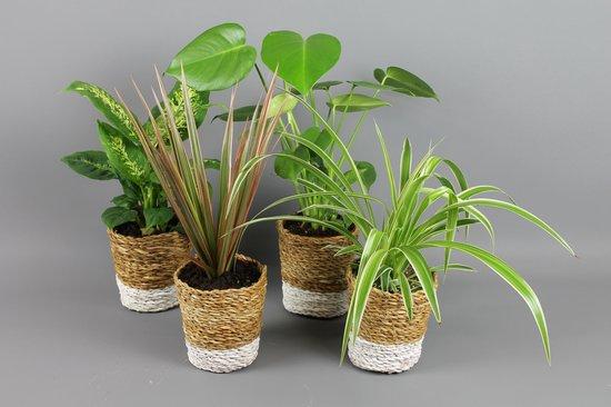 GrowerOnline - 4x Groene planten mix vers van de kweker in leuke decoratieve mand Ø12,5cm ↑ 25 - 40cm