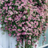 2x Clematis Montana 'Rubens' - Bosrank roze - Set van 2 - ↑ 55-65cm - Ø 12cm