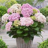 Hydrangea Macrophylla 'Doppio Nuvola' - Hortensia roze - ↑ 15-20cm - Ø 12cm