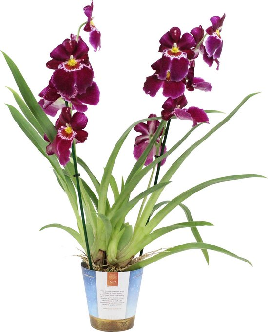 Orchidee Miltoniopsis 'Red Tide' - Viooltjesorchidee paars - ↑ 45-50cm - Ø 12cm
