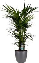 Plant - Planten   Bloempot   Plant   Decorum Kentia Palm - Elho brussels antracite