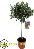 Plant in a Box - Olijfboom op stam - Olea Europaea - Pot ⌀21 cm - Hoogte ↕ 100 - 110 cm