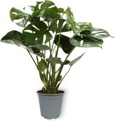 Monstera Deliciosa Tauerii Large - in Kweekpot - 60 cm hoog - 19cm diameter