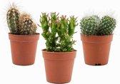 Mini Cactussen Mix – 3 Stuks - Ø 5,5 cm - ↕ Hoogte: 5-10 cm – Cactus – Kamerplant – Cactus Cadeau - Moederdag Cadeautje