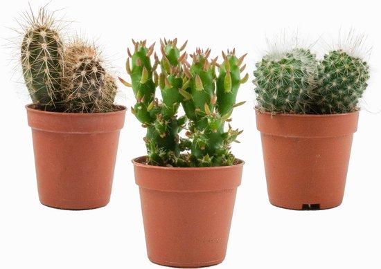 ZynesFlora | Mini Cactussen Mix – 3 Stuks - Ø 5,5 cm - ↕ Hoogte: 5-10 cm – Cactus – Kamerplant – Cactus Cadeau