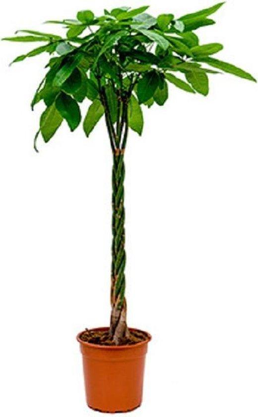 Plantenwinkel Pachira aquatica gevlochten XL Geldboom Kamerplant