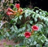 1 x Campsis radicans 'FLAMENCO' - Trompetbloem 50-60 cm in pot