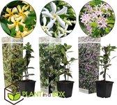 Plant in a Box - Jasmijn klimplanten Mix - Set van 3 Trachelospernum jasminoïdes - Pot ⌀9 cm -Hoogte ↕ 20-30cm