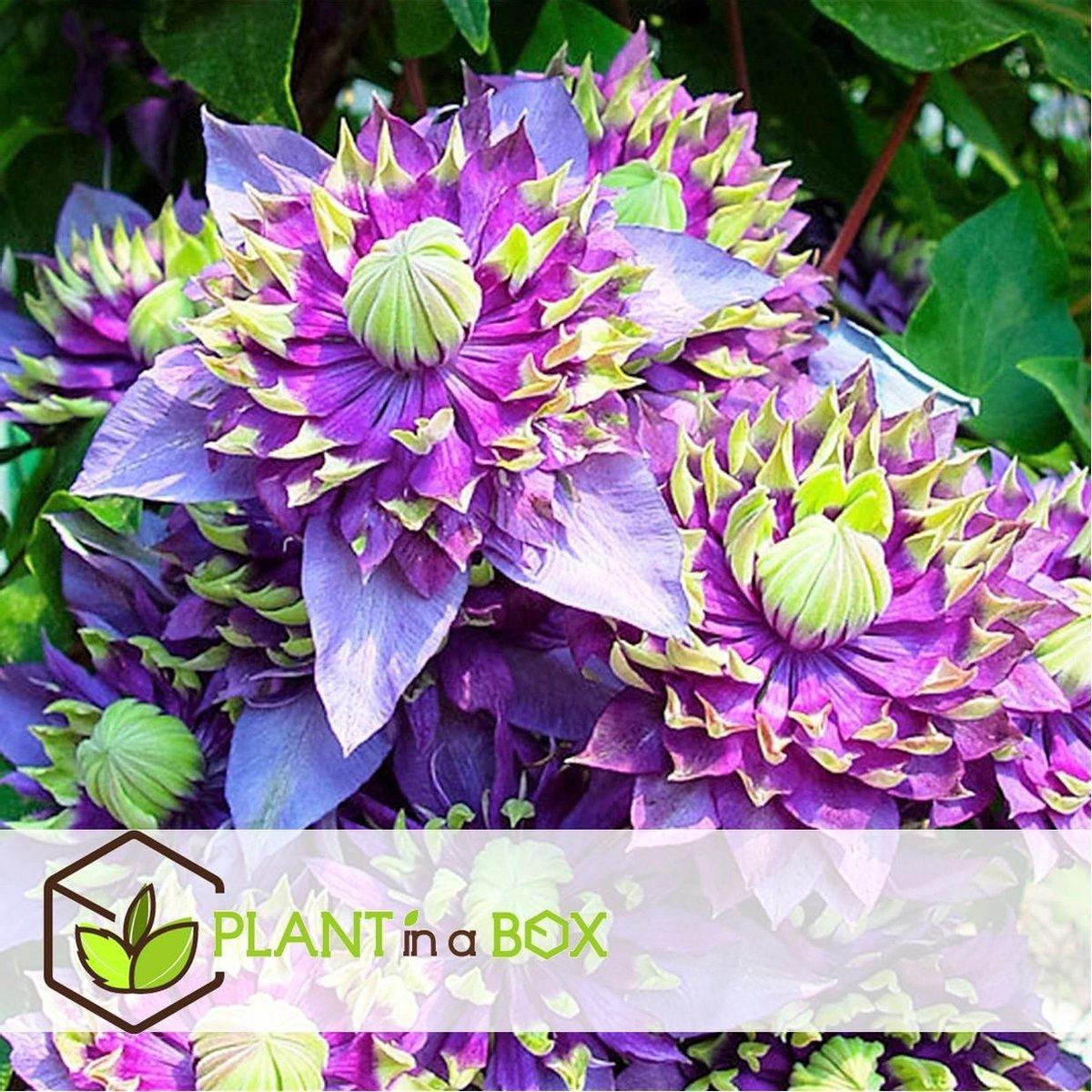 Plant in a Box - Set van 2 Clematis Taiga - winterharde klimplanten - Pot  9cm - Hoogte   25-30cm