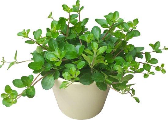Peperomia Rotundifolia mooi plantje voor in huiskamer of kantoor.