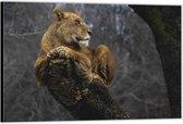 Dibond –Leeuw op Boomstam– 60x40 Foto op Aluminium (Wanddecoratie van metaal)