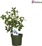 Blauwe Bosbessenplant XL