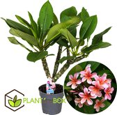 Plant in a Box - Plumeria Hawaiien - Frangipani kamerplant - Pot ⌀17cm - Hoogte ↕ 55-75cm - Groen