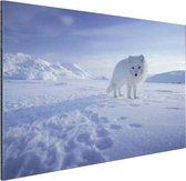 Poolvos in de sneeuw Aluminium 120x80 cm - Foto print op Aluminium (metaal wanddecoratie)