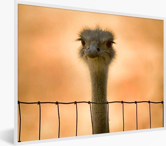 Foto in lijst - Een emoe kijkt uit over een hek fotolijst wit 40x30 cm - Poster in lijst (Wanddecoratie woonkamer / slaapkamer)