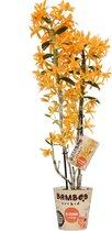 Orchidee van Botanicly – Bamboe Orchidee – Hoogte: 50 cm, 2 takken, oranje bloemen – Dendrobium nobile Firebird