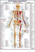 Menselijk lichaam poster - skelet - anatomie - 61x91.5cm