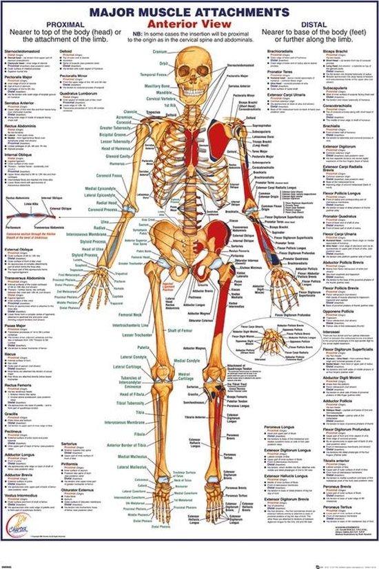 Verrassend bol.com | Menselijk lichaam-anatomie-Skelet-Poster-61x91.5cm. YR-45