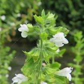 6 x Melissa Officinalis - Citroenmelisse pot 9x9cm