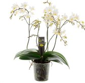 Willd Orchid Orchidee Cadeau