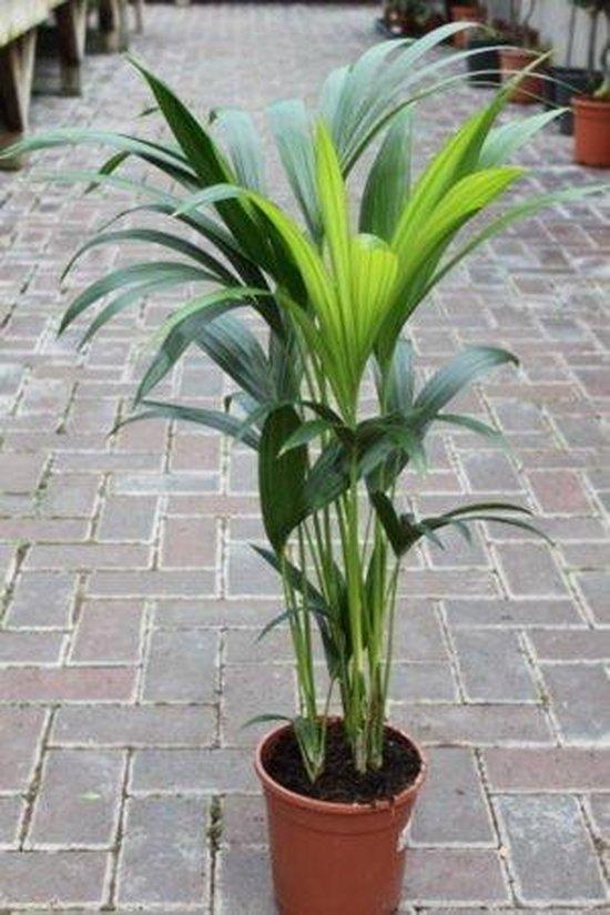 Howea forsteriana - Kentia Palm - Luchtzuiverend - Kamerplant - Huis of Kantoor Plant - 110 cm