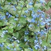 6 x Brunnera Macrophylla Jack Frost® - Kaaps-Vergeet-Me-Nietje pot 9x9cm