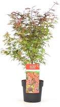 Acer palmatum 'Shaina Red'; Totale hoogte 50-60cm incl. Ø 19cm pot | Japanse esdoorn