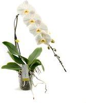 Formidablo N°12 Orchidee Cadeau