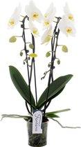 Fontano N°12 Orchidee Cadeau