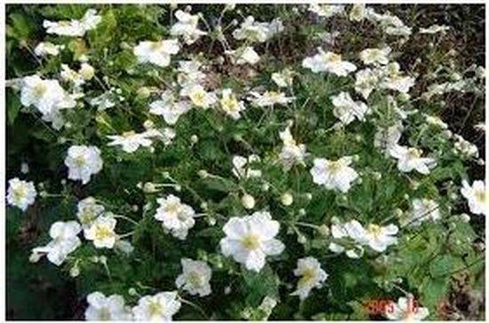 12 stuks Anemone hybrida Honorine Jobert Anemoon