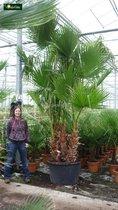 Washingtonia robusta Multistam 80-100cm incl. pot Ø 22cm - Mexicaanse waaierpalm