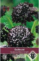 Van Hemert & Co - Duifkruid Black Knight (Scabiosa atropurpurea)