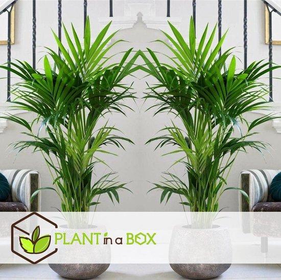 PLANT IN A BOX Kentia Palm - Howea Forsteriana - kamerplant - pot ⌀19 cm - Hoogte ↕ 90cm