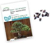 Pinus parviflora zaden | Japanse witte den | Bonsai