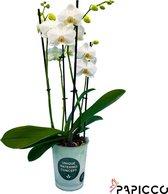 Papicco BASIC CHIC Elizabeth - Orchidee - 4-tak - Phalaenopsis - Wit