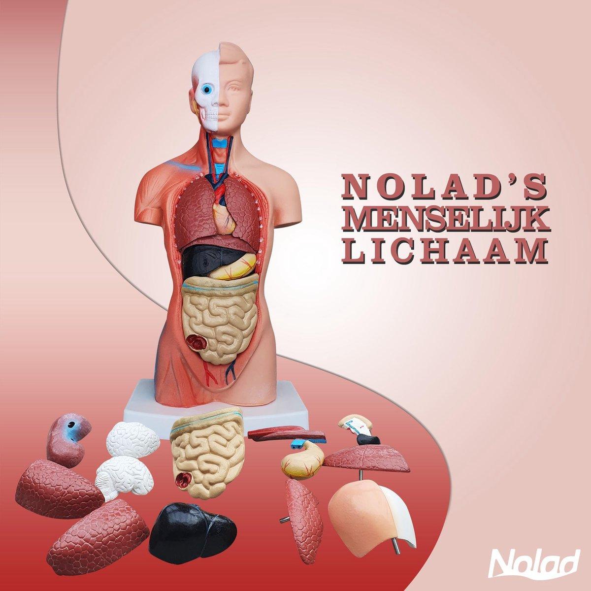 Nolad® Torso menselijk lichaam met uitneembare organen - Anatomie model torso met organen 15-delig - Anatomisch model - 42 cm hoog