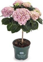 Magical Revolution - kamerhortensia - flowertree - roze - 14 cm