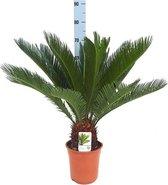 Mediterrane plant - Cycas Revoluta  Ø19