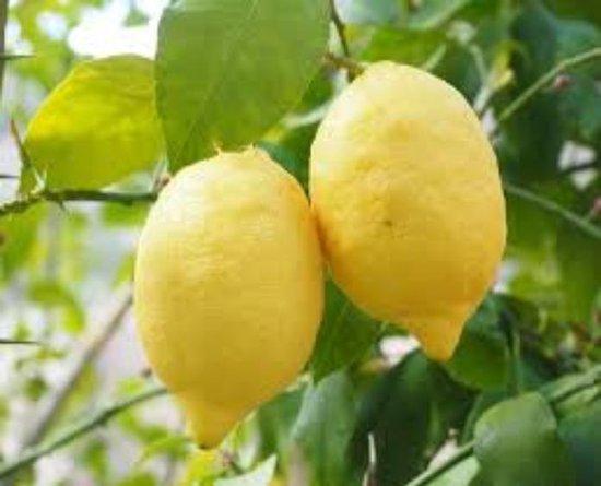 Citrus limon ' Citroen' 2 liter pot (12 bij 20 cm) Citroen potgedrukt 60 cm inclusief pot voor tuin terras of balkon.