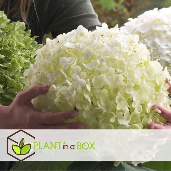 Plant in a Box - Hydrangea Arborescens 'Strong Annabelle' - Hortensia met witte XL bloemen - Hoogte ↕ 45-55cm