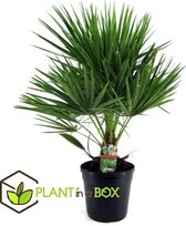 Plant in a Box - Europese Waaierpalm - Chamaerops Humilis - Pot ⌀21 cm -Hoogte ↕ 60-70cm