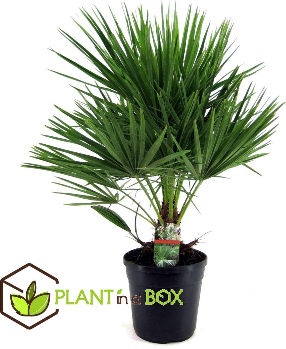 Plant in a Box - Europese Waaierpalm - Chamaerops Humilis - Pot  21 cm -Hoogte   60-70cm