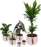 Set van 6 planten met bijpassende witte plantenpotten – kamerplanten voor binnen met verschillende groottes - Kodi