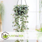 PLANT IN A BOX - Ceropegia Woodii - Chinees Lantaa